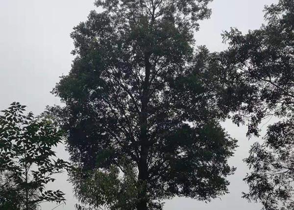 景观黄连木树