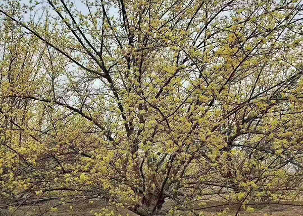山茱萸树批发