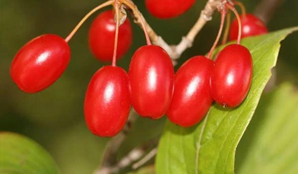 河南山茱萸树的繁殖方式是怎样的?