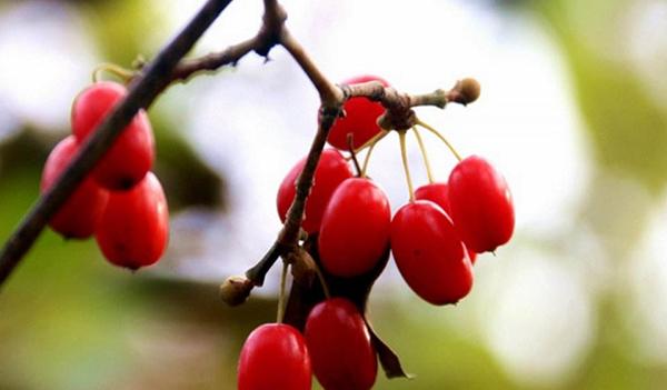 观赏及药用多用途的乡土苗木—山茱萸树