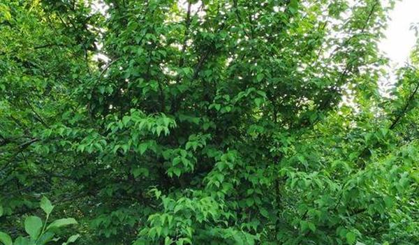 河南山茱萸的播种方式分享