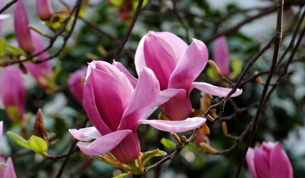 三月里北方紫玉兰种植管理技术分享