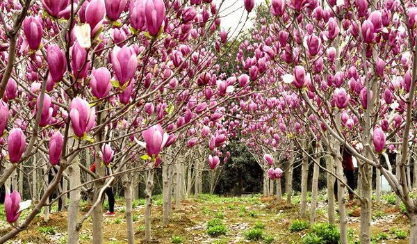 紫玉兰树嫁接可以选择哪种树?
