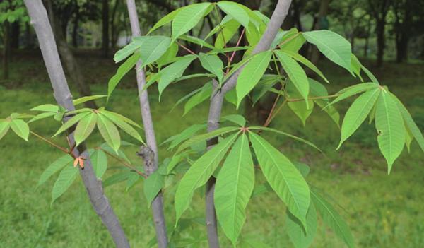 七叶树喜肥,掌握好施肥时段让七叶树长的更快