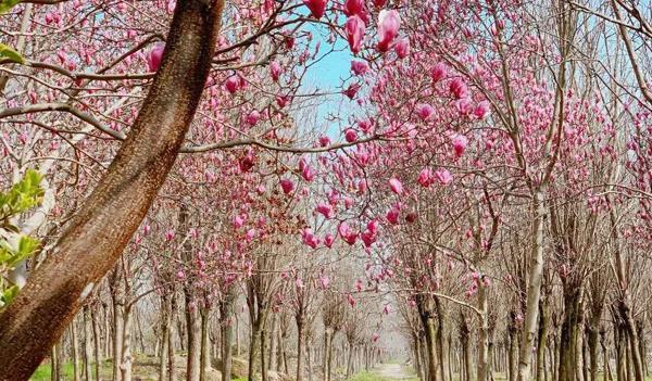 为什么紫玉兰树需要进行多次修剪?