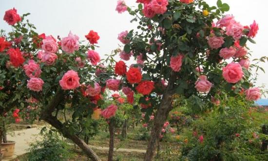 四川树状月季