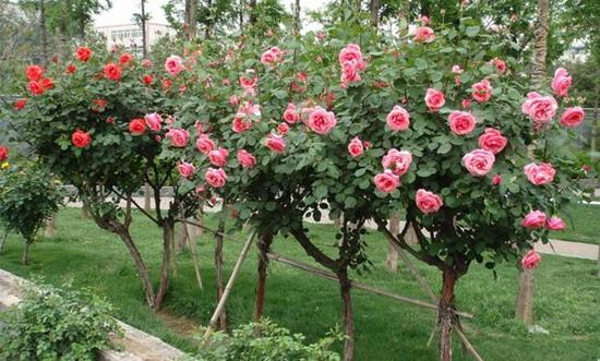 枣庄粉花树状月季