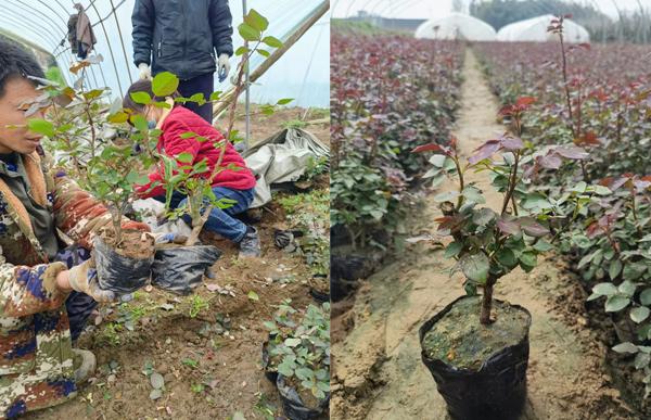重庆盆栽月季