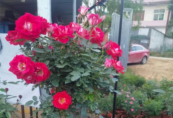很多人疑惑怎样把大花月季做成好看的干花呢?