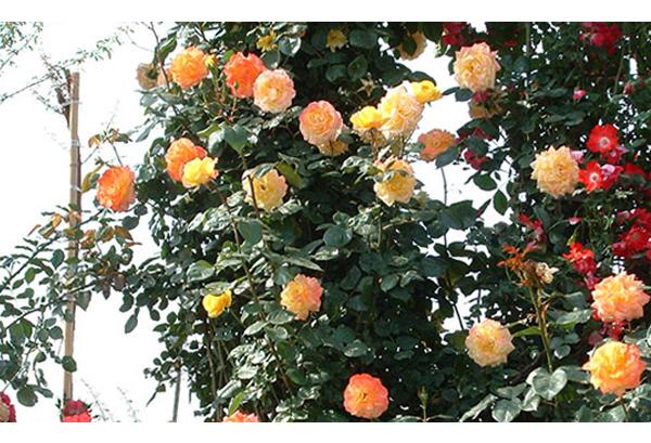 藤本月季中哪些开花多,花香四溢的呢?