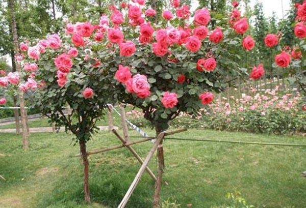树状月季嫁接如何存活呢?