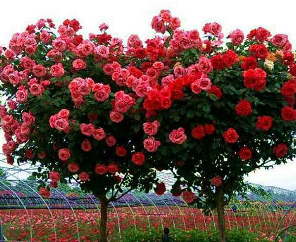高杆树状大花月季