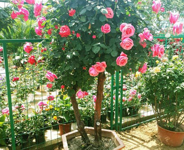 盆栽高杆月季