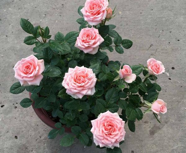 切花盆栽月季