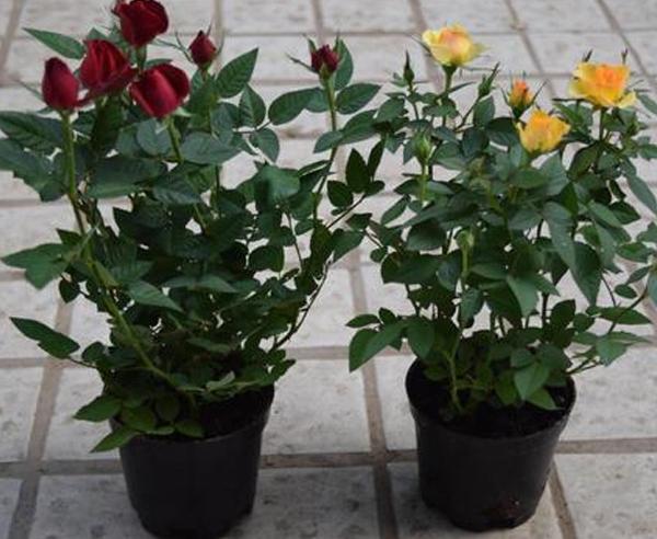 小型盆栽月季