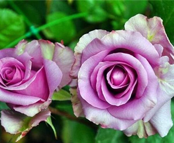 大花月季-紫皇后
