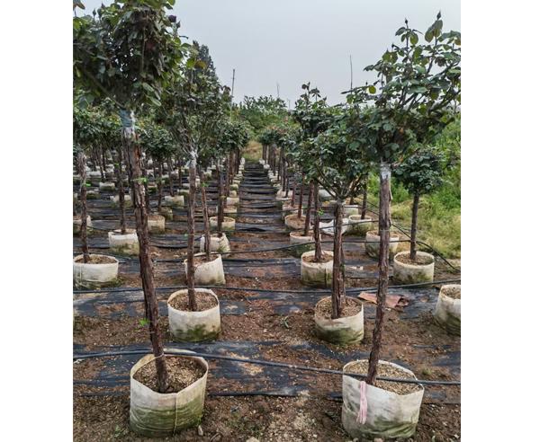 树状月季苗基地