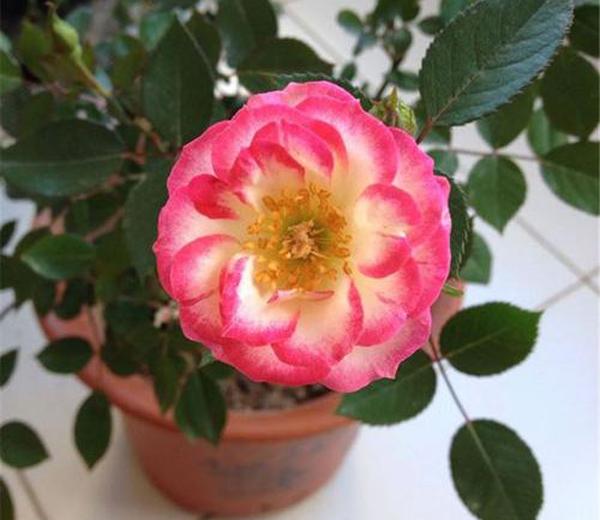 微型盆栽月季