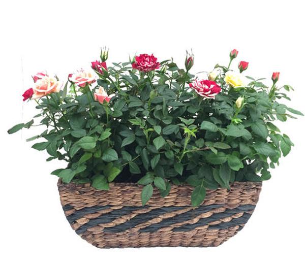 阳台盆栽月季