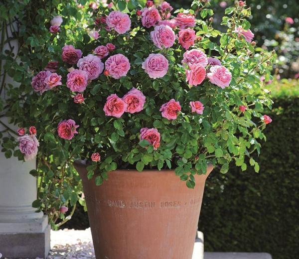 观赏盆栽月季