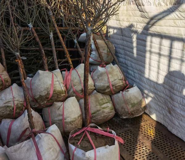 3公分、4公分树状月季发货案例