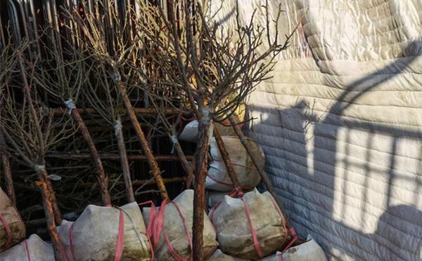 周口盆栽大花月季价格