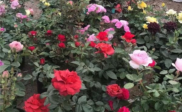 信阳盆栽月季品种