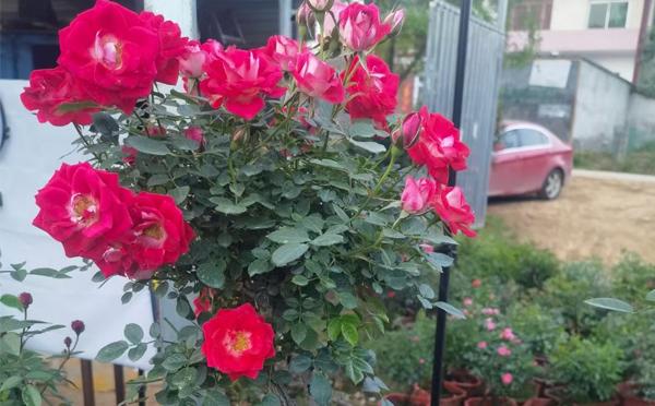 盆栽月季换盆中有什么注意的呢?月季小编和你分享