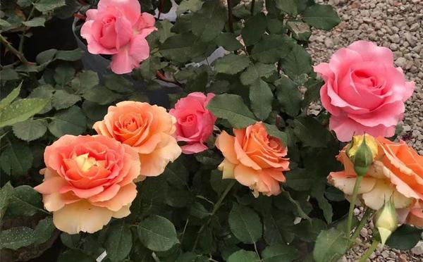 三门峡盆栽月季花苗