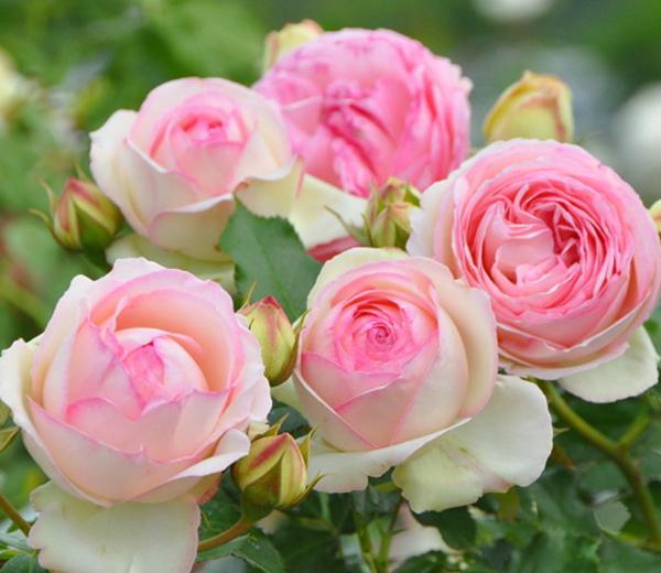 粉色龙沙宝石月季