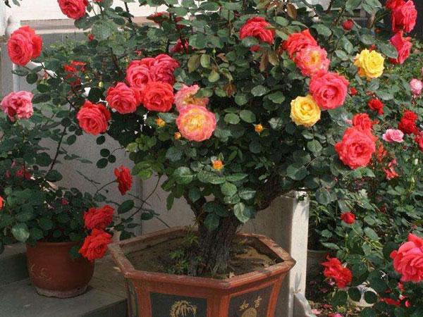 嫁接樹狀盆栽月季