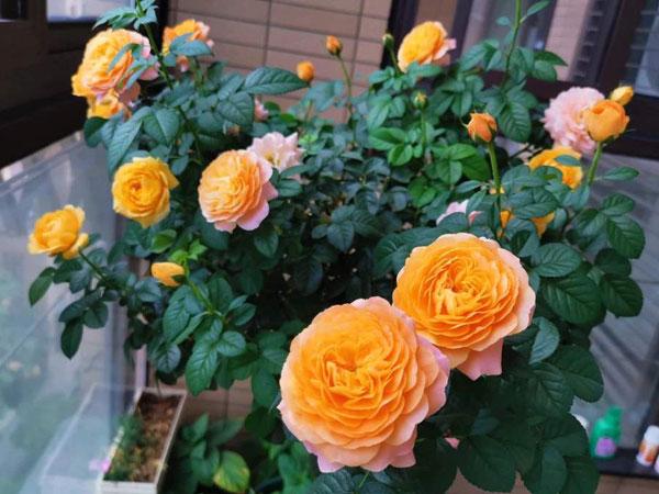 盆栽大花香水月季