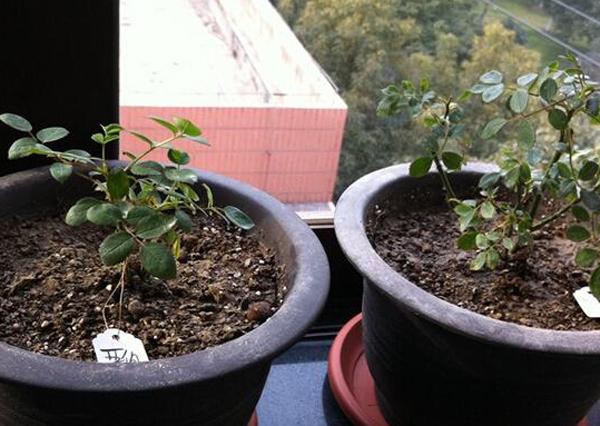 阳台盆栽月季小苗