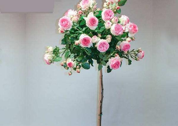 盆栽高杆月季树