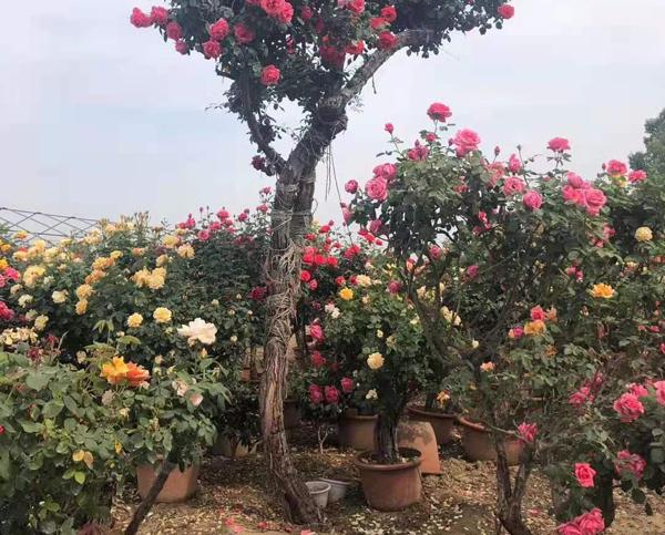 盆栽月季树