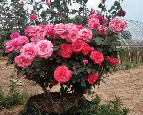 盆栽月季花