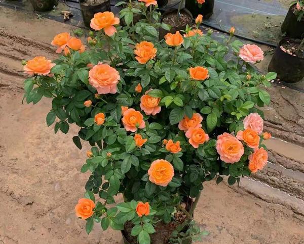 盆栽丰花月季