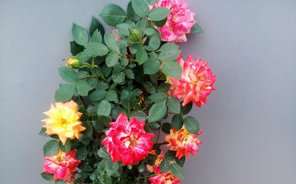 漯河庭院大花月季