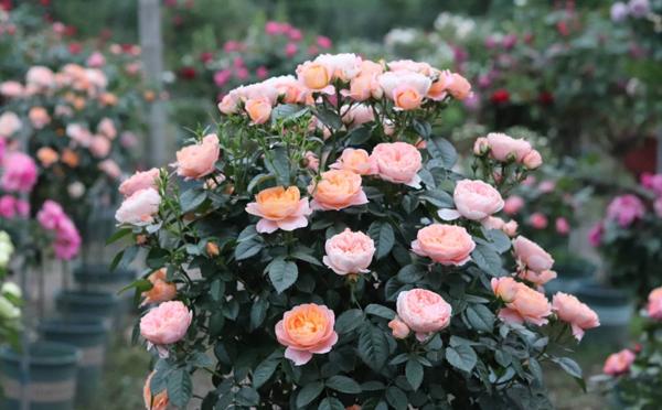 公园棒棒糖树状月季嫁接蔷薇的办法