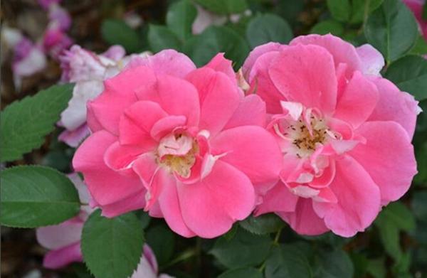 玫瑰地毯月季