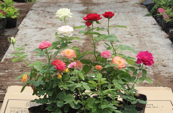 常规型盆栽月季
