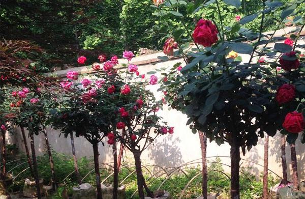 庭院树状月季