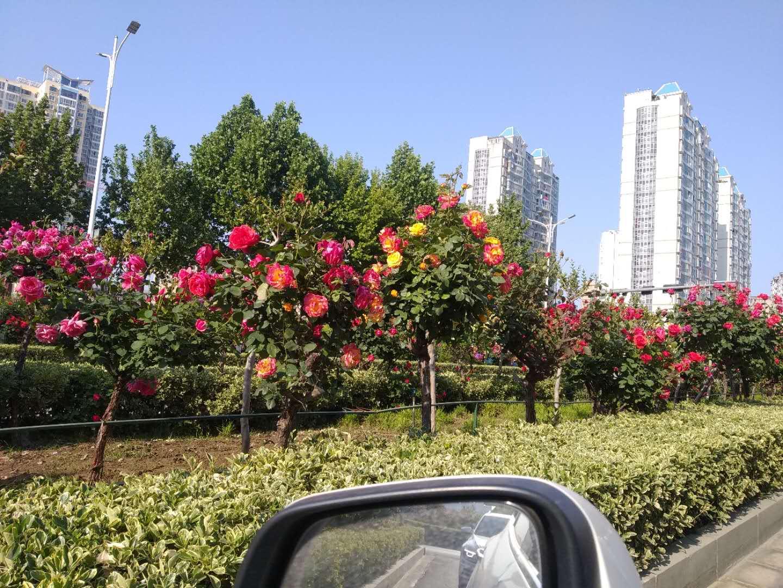 安阳粉色树状月季批发