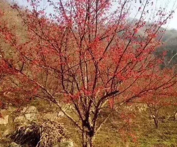 山茱萸苗木