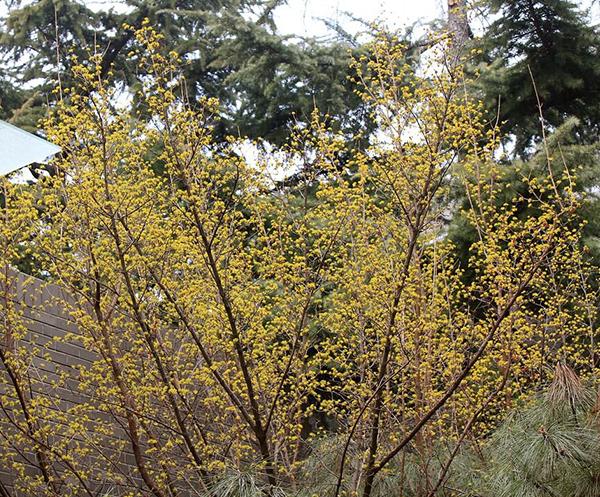 丛生山茱萸苗