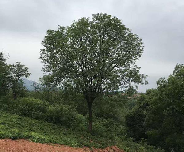 黄连木基地