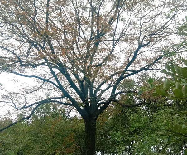 50公分黄连木