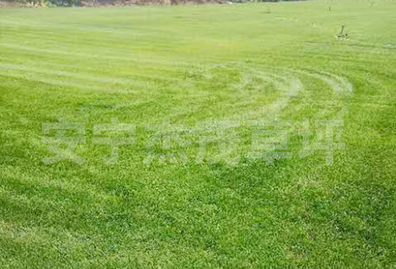 剪股颖草坪草种