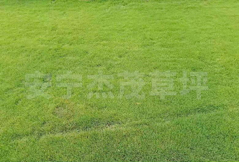 四季青草草坪