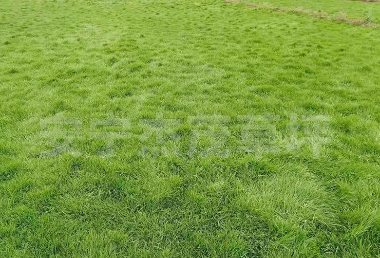 四季青草坪草